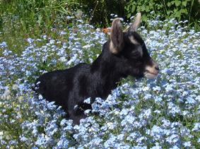 une chèvre dans les fleurs